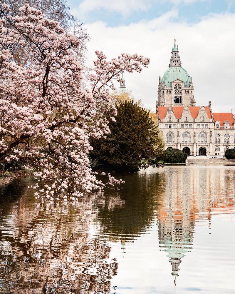 Neues Rathaus in Hannover im Frühling mit Magnolienbaum