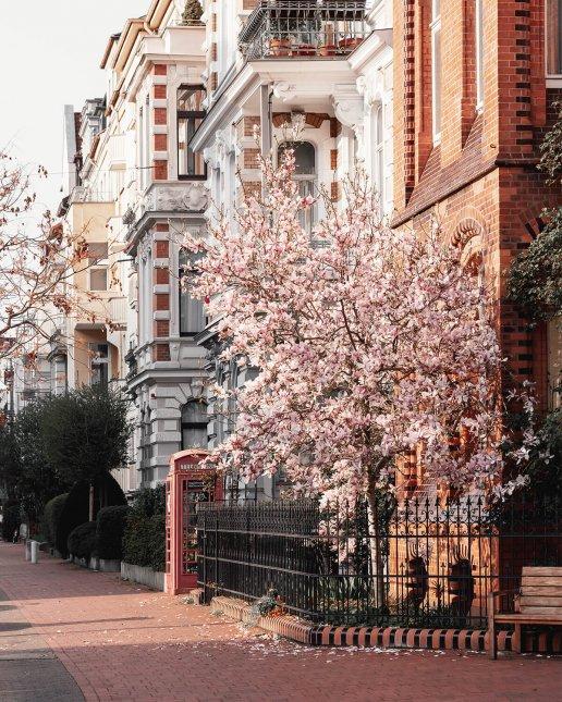 Magnolienbaum in der Bödekerstraße – Frühling in Hannover