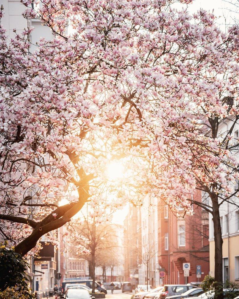 Frühling in der Gretchenstraße in Hannover, Magnolienbaum